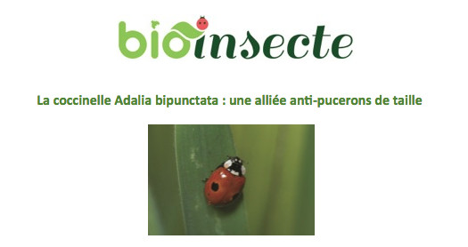La coccinelle Adalia bipunctata : une alliée anti-pucerons de taille