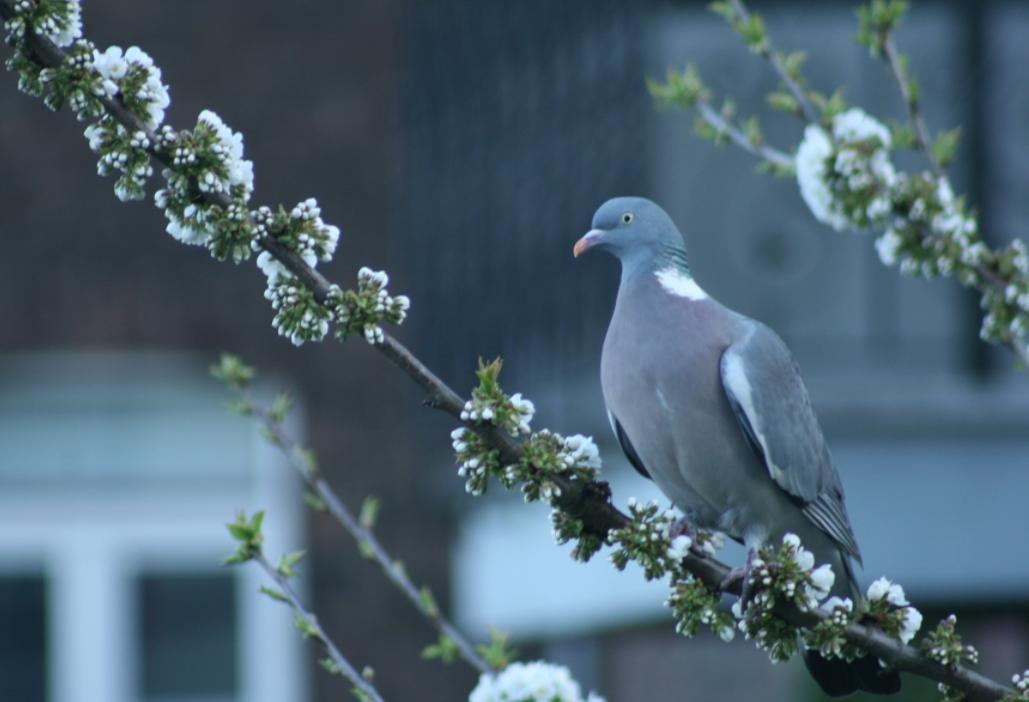 Pigeon ramier - photo : Antoine Derouaux