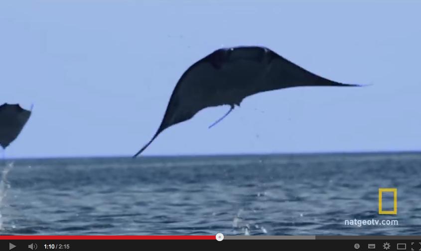 INCROYABLE ! Des raies volantes ! (Vidéo)