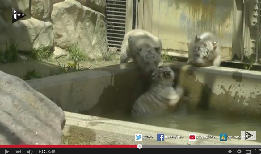 Un bébé tigre sauvé par ses frères !