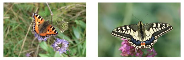 Recensement des papillons de jardin