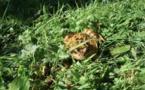 Brabant wallon nature : Opération Batraciens en cours dans l'entité nivelloise