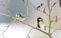 Mésanges bleues et charbonnières - photo : Olivier Colinet